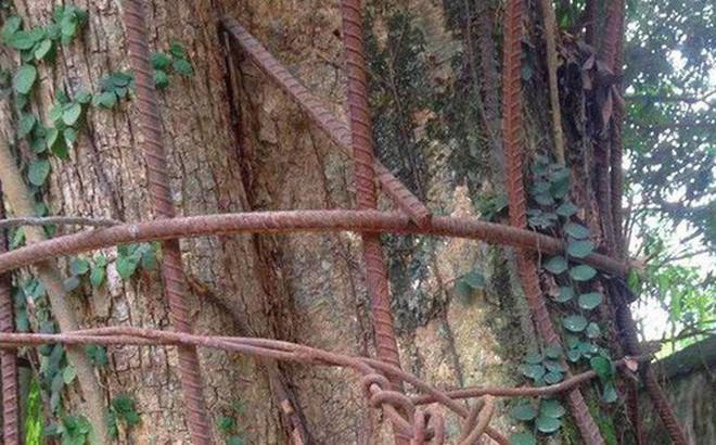 Tiết lộ phương án bảo vệ gỗ từ cây sưa trăm tỷ ở Hà Nội chặt hạ vào ngày 25/1 - Ảnh 1.