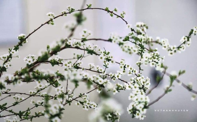 Bạch tuyết mai - cây cảnh không thể thiếu mang sung túc vào nhà trong dịp Tết Kỷ Hợi 2019 - Ảnh 2.