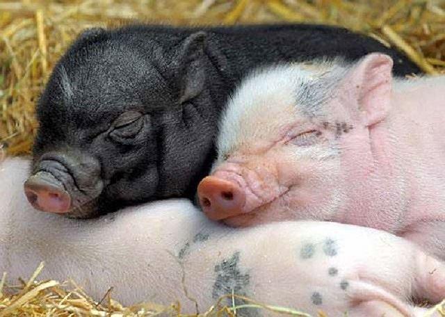 Những điều bất ngờ và thú vị về loài lợn - Ảnh 1.