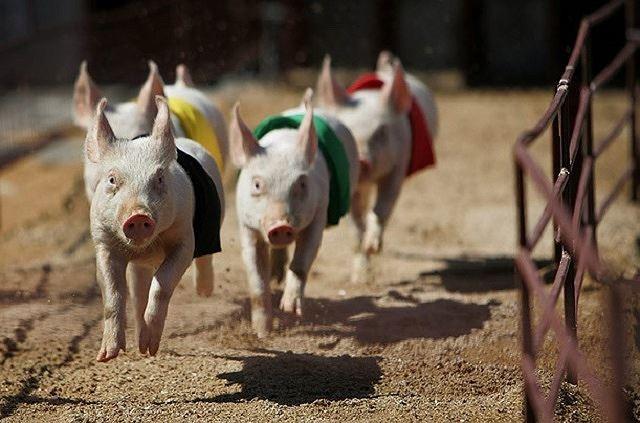 Những điều bất ngờ và thú vị về loài lợn - Ảnh 2.