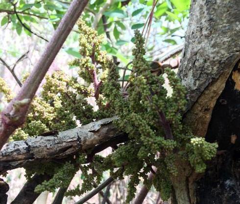 Mãn nhãn chùm nho rừng gần 600 quả ở Ninh Thuận - Ảnh 1.