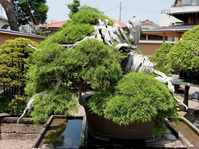 Tuyệt tác bonsai Nhật giá cắt cổ 3,8 tỷ đồng trông như thế nào? - Ảnh 1.