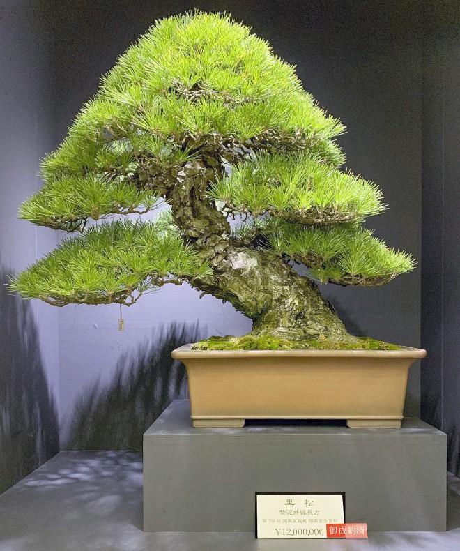 Tuyệt tác bonsai Nhật giá cắt cổ 3,8 tỷ đồng trông như thế nào? - Ảnh 5.