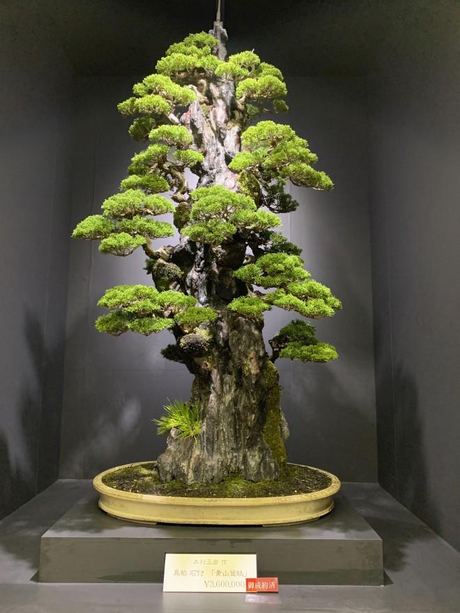 Tuyệt tác bonsai Nhật giá cắt cổ 3,8 tỷ đồng trông như thế nào? - Ảnh 8.