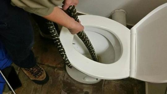 Bị rắn trong bồn cầu cắn khi đi vệ sinh - Ảnh 1.
