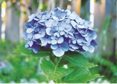 Cảnh giác với những loài hoa đẹp nhưng…độc - Ảnh 1.