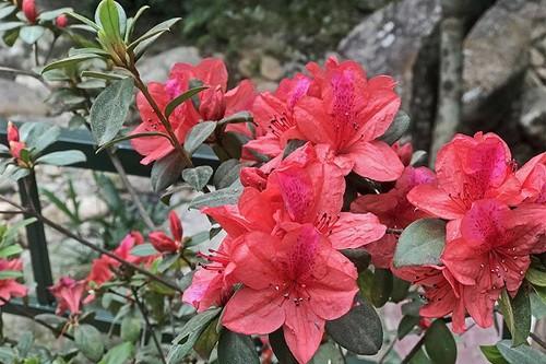 Cảnh giác với những loài hoa đẹp nhưng…độc - Ảnh 2.