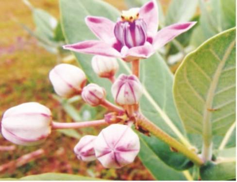 Cảnh giác với những loài hoa đẹp nhưng…độc - Ảnh 4.