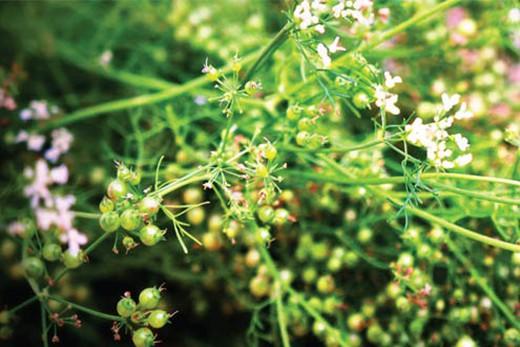 Những tác dụng tuyệt vời của rau mùi ngày Tết - Ảnh 2.