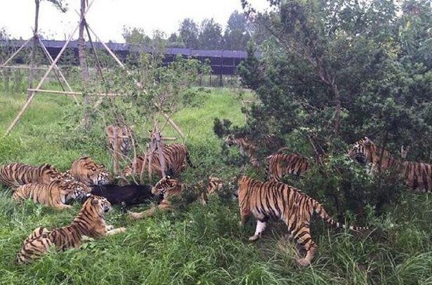 Bị 14 con hổ dữ điên cuồng cắn xé, gấu đen lâm cảnh thập tử nhất sinh - Ảnh 3.