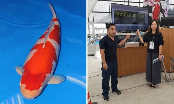 Cá chép Koi Nhật Bản đắt nhất thế giới với giá 1,8 triệu USD - Ảnh 2.