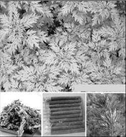 Những cây ngải họ cúc: Vị thuốc đa năng - Ảnh 1.