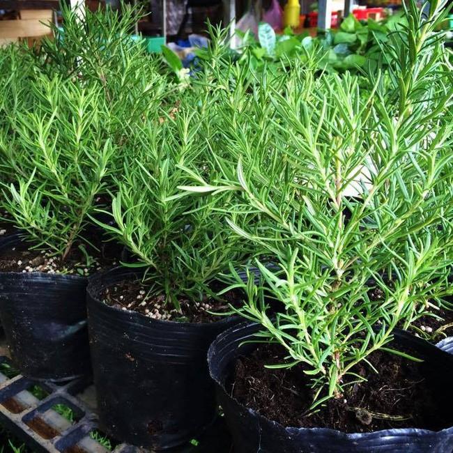 Mách bạn 10 loại cây cảnh trồng quanh nhà có khả năng xua đuổi kiến ba khoang hiệu quả - Ảnh 11.