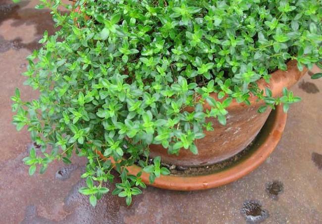 Mách bạn 10 loại cây cảnh trồng quanh nhà có khả năng xua đuổi kiến ba khoang hiệu quả - Ảnh 7.