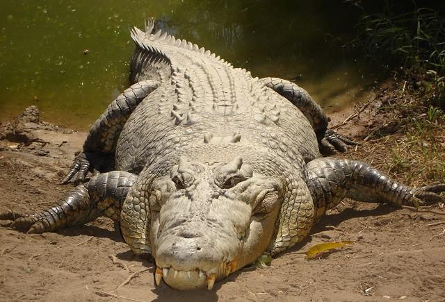 Những sự thật bất ngờ và thú vị về loài cá sấu - Ảnh 2.