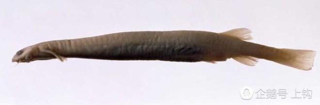 Cơn ác mộng của đàn ông khi xuống nước, loài cá có thể loại bỏ bộ phận sinh dục chỉ với một vết cắn - Ảnh 2.