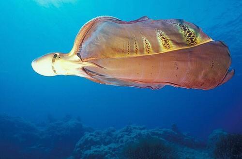 Con vật lạ như tà áo dài ở Phú Quý là sinh vật kỳ dị cực hiếm trên thế giới - Ảnh 1.