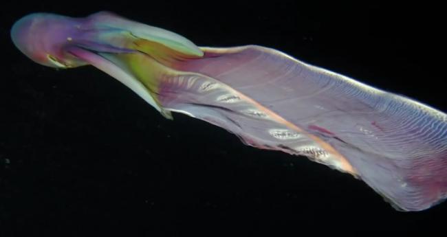 Con vật lạ như tà áo dài ở Phú Quý là sinh vật kỳ dị cực hiếm trên thế giới - Ảnh 3.