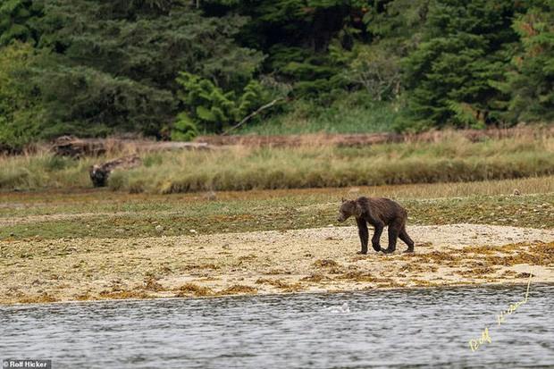 Cảnh tượng gấu mẹ gầy trơ xương cùng 2 con đi khắp nơi tìm thức ăn ai nhìn cũng xót xa - Ảnh 2.