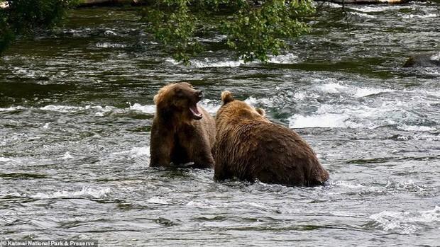Cảnh tượng gấu mẹ gầy trơ xương cùng 2 con đi khắp nơi tìm thức ăn ai nhìn cũng xót xa - Ảnh 4.