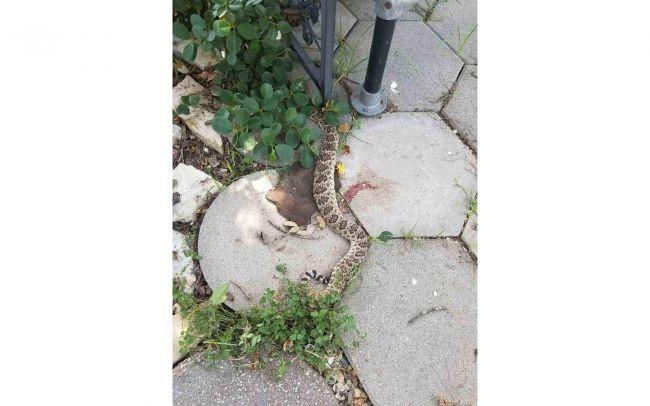 Giải mã bí ẩn: Vì sao loài rắn đầu lìa khỏi cổ vẫn có thể cắn chết người? - Ảnh 1.