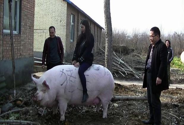 Trung Quốc nuôi lợn to như gấu Bắc Cực để đối phó khủng hoảng thịt lợn - Ảnh 1.