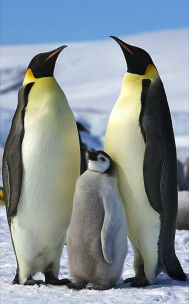 Gia đình chim cánh cụt đáng yêu ở Nam Cực.