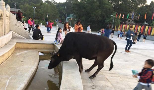 Băng đảng bốn con bò hung hăng cướp sạch rau củ trong siêu thị Hong Kong ngay giữa thanh thiên bạch nhật - Ảnh 5.