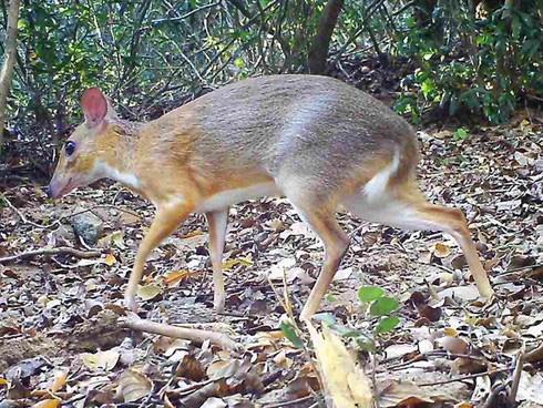 Hươu chuột xuất hiện tại Việt Nam sau 30 năm nghi tuyệt chủng - Ảnh 1.