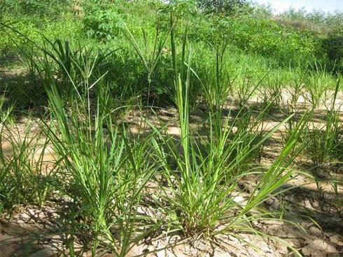 Thứ cỏ mọc dại ở Việt Nam chỉ trâu bò ăn, dân Trung Quốc coi là thuốc quý - Ảnh 1.