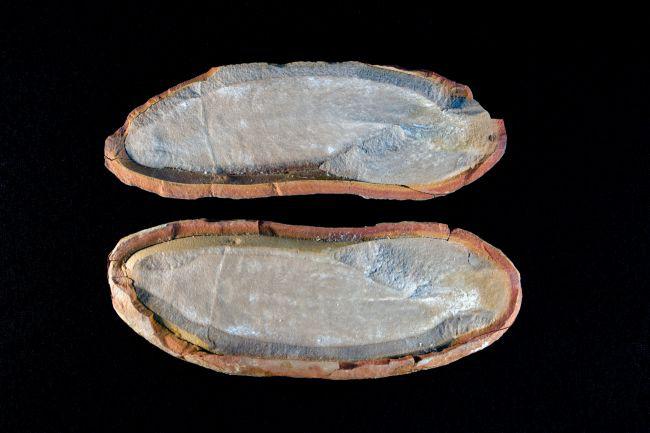 Hóa thạch của Tullimonstrum gregarium.