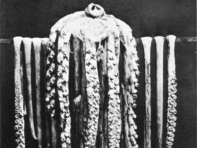 Loài mực khổng lồ có thể đánh chìm thuyền bè tưởng chỉ có trong truyền thuyết và bí ẩn 150 năm mới có lời giải - Ảnh 4.