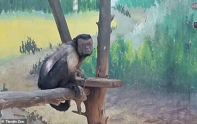 Chú khỉ mặt người đau khổ vì ế bền vững suốt 19 năm - Ảnh 3.