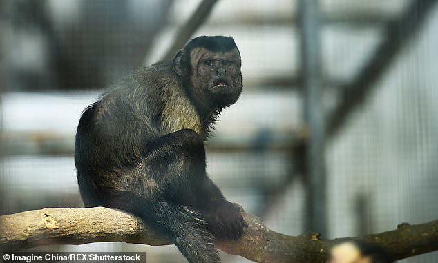 Chú khỉ mặt người đau khổ vì ế bền vững suốt 19 năm - Ảnh 4.