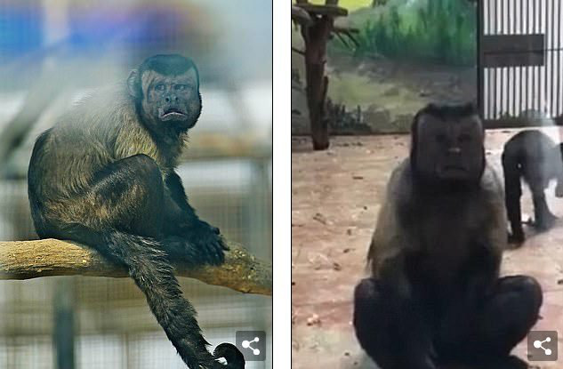 Chú khỉ mặt người đau khổ vì ế bền vững suốt 19 năm - Ảnh 6.