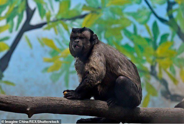 Chú khỉ mặt người đau khổ vì ế bền vững suốt 19 năm - Ảnh 8.