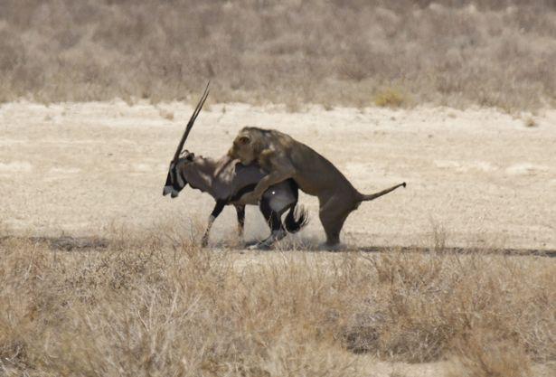 Chùm ảnh: Linh dương sừng kiếm hiến thân cho chúa tể thảo nguyên - Ảnh 2.