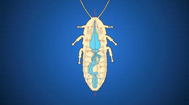 Tại sao côn trùng lại có kích thước nhỏ bé như vậy? Vì sao con gián mất đầu mà vẫn có thể sống và hô hấp bình thường? - Ảnh 7.