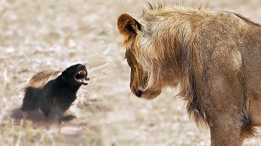 Đến sư tử đực cũng ngẩn người vì bị con mồi này phản kích, không thể xuống tay nổi - Ảnh 1.