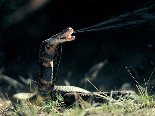 Nọc độc của rắn hổ mang có thể phóng xa 2 m.