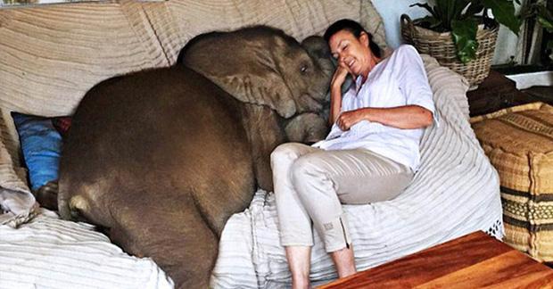 Sau khi được cứu sống, chú voi không ngừng rình rập vị ân nhân của mình bất kể ngày đêm - Ảnh 1.
