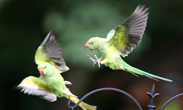Hàng ngàn con vẹt xanh tự nhiên đổ bộ hàng loạt vào Anh Quốc - bí ẩn suốt hơn 60 năm làm khoa học đau đầu cuối cùng đã có lời giải - Ảnh 1.