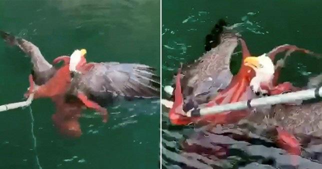 """Video: """"Chúa tể trời xanh"""" bị bạch tuộc khổng lồ dìm xuống nước, cái kết cho kẻ tham ăn - Ảnh 2."""