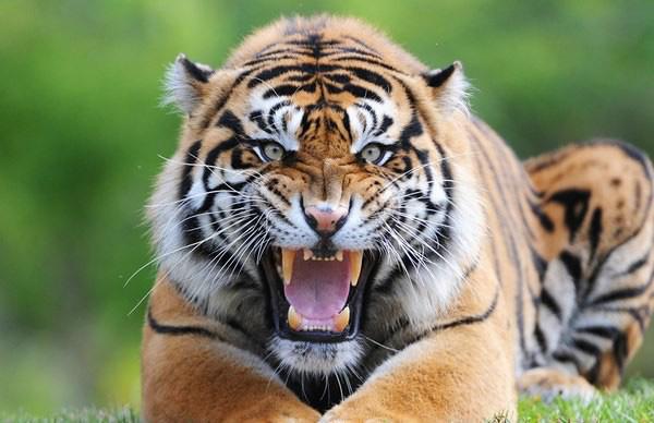 1001 thắc mắc: Hổ - Sư tử, kẻ nào thực sự là chúa sơn lâm? - Ảnh 1.