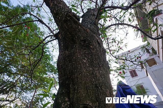 Gốc đào rừng nặng 1 tấn, cao 5 mét hút hồn mọi dân chơi - Ảnh 3.
