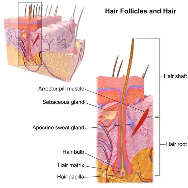 Tại sao con người phải cắt tóc còn các loài động vật khác thì không cần? - Ảnh 6.