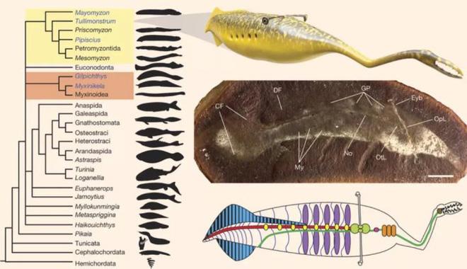 Loài sinh vật cổ đại có hình dáng chẳng giống ai khiến các nhà khoa học tranh cãi 60 năm mà vẫn chưa có kết quả - Ảnh 13.