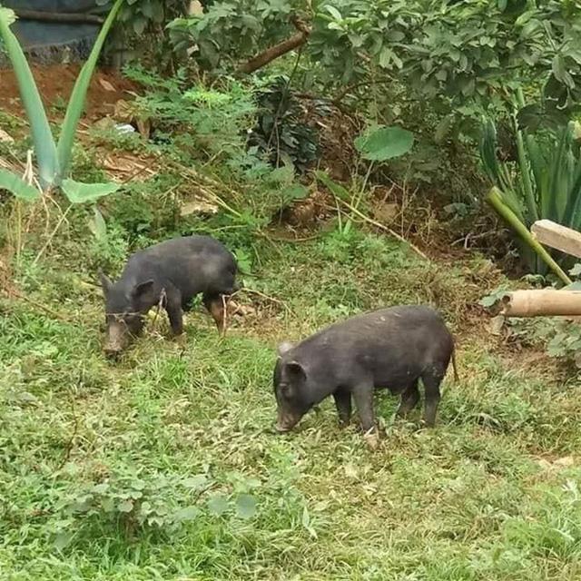37 ngày nữa mới Tết, lo sợ thực phẩm bẩn, bà nội trợ Việt đã nháo nhác đặt lợn rừng ăn Tết - Ảnh 1.