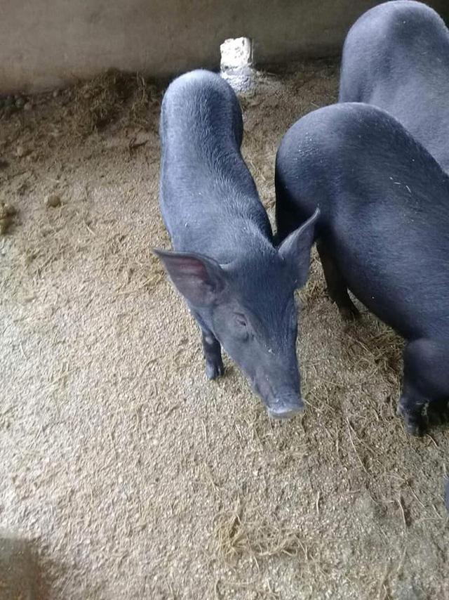37 ngày nữa mới Tết, lo sợ thực phẩm bẩn, bà nội trợ Việt đã nháo nhác đặt lợn rừng ăn Tết - Ảnh 5.