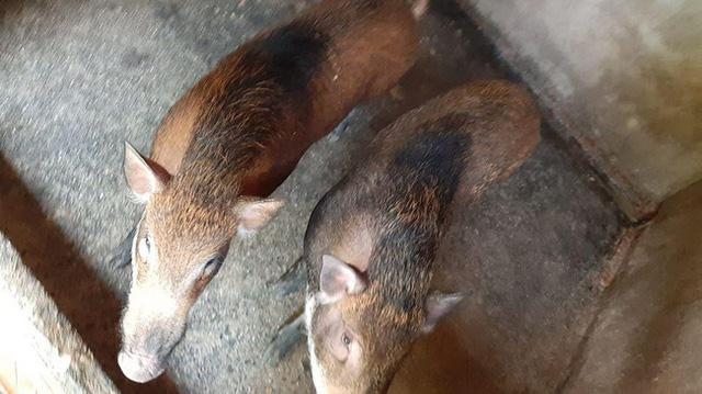 37 ngày nữa mới Tết, lo sợ thực phẩm bẩn, bà nội trợ Việt đã nháo nhác đặt lợn rừng ăn Tết - Ảnh 8.